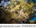 Australia, White, cockatoo 35699039