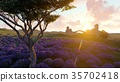 Lavender fields with a solitary tree 3d rendering 35702418