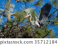Heron with wings spread in the nest. 35712184