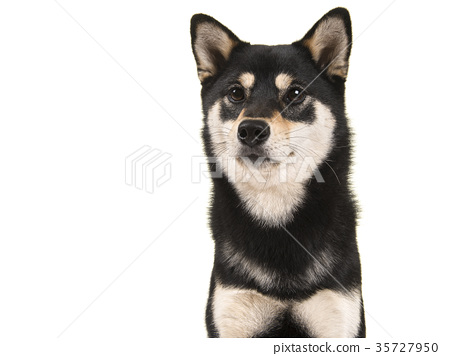 Black and tan shiba inu dog portrait 35727950