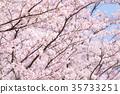 樱花 樱桃树 樱花盛开 35733251