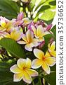프르 메리아의 꽃 35736652