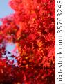 단풍, 가을, 단풍나무 35763248