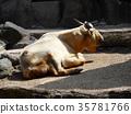 金羚 35781766