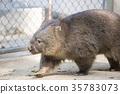 袋熊 動物 澳大利亞 35783073