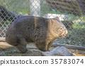 袋熊 動物 澳大利亞 35783074