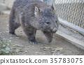 袋熊 動物 澳大利亞 35783075