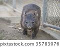 袋熊 動物 澳大利亞 35783076