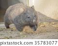 袋熊 動物 澳大利亞 35783077