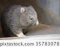 袋熊 動物 澳大利亞 35783078