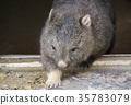 袋熊 動物 澳大利亞 35783079