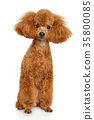 Miniature poodle puppy 35800085