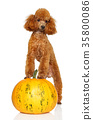 Red Miniature poodle on pumpkin 35800086