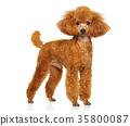 Miniature poodle puppy 35800087