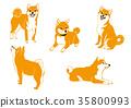 Shiba in various poses 35800993