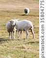 農場 動物 羊 35804775