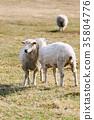 農場 動物 羊 35804776