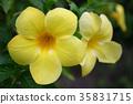 Allamanda Flowers 35831715