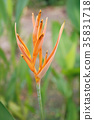 Heliconia Flower 35831718