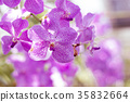 Purple Orchid In the garden 35832664
