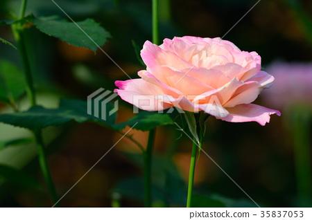 玫瑰勒布朗 35837053