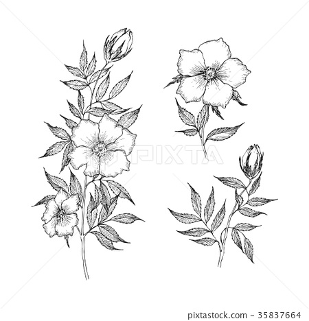 Vintage botanical illustration flower. Flower 35837664