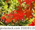 红叶 秋叶 枫树 35839119