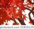 autumn leaves, autumnal tints, maple 35839120