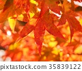 autumn leaves, autumnal tints, maple 35839122