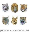 animal,feline,lion 35839176