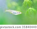 freshwater fish, medaka rice fish, aquarium fish 35840440