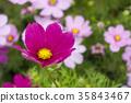 Cosmos Flower 35843467