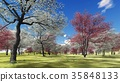 Flowering dogwood trees in orchard in spring time 35848133