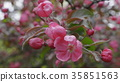 Garden with blossoming apple trees in spring. 35851563