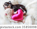 Newborn dogs in love. 35856098