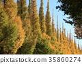 ginkgo, ginko, tree 35860274