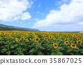 north shore, sunflower, sunflowers 35867025
