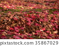 red, leafe, maple 35867029