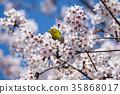 cherry blossom, cherry tree, sclera 35868017