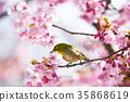 cherry blossom, cherry tree, sclera 35868619