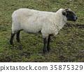 草甸的綿羊從側面1 35875329