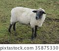 草地的綿羊從側面2 35875330