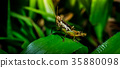 Grasshopper on branch, Macro shot 35880098