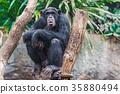 Western chimpanzee 35880494