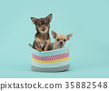 Two chihuahua dogs in a colored basket 35882548