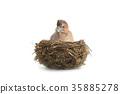baby bird  jay 35885278