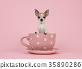 Chihuahua dog sitting in a cup and saucer 35890286