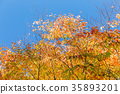 yellow leafe, maple, red leafe 35893201