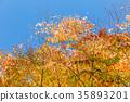 秋葉 黃葉 楓樹 35893201