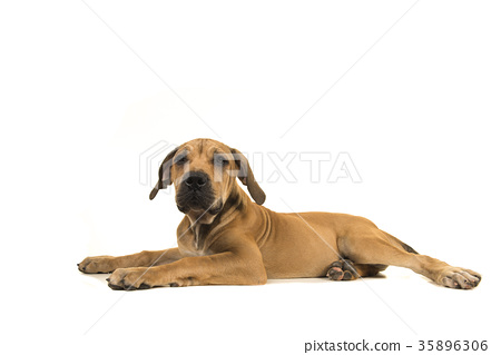 Young female south african mastiff dog sideview - Stock